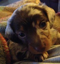 Dachshund puppy....