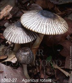 Agaricus rotalis ©2014 Taylor F. Lockwood
