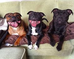 Staffies! ❤ I spent the best years of my life under their care!!