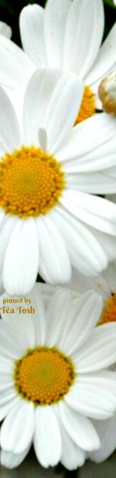❇Téa Tosh❇  I love daisies.