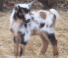 Care of the Nigerian Dwarf Dairy Goat - from Cornerstone Farm - lots of good information to read when you're serious about getting a pygmy goat.