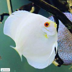 Pretty White Discus Fish With Red Eyes - Alisa Tropical Freshwater Fish, Freshwater Aquarium Fish, Tropical Fish, Diskus Aquarium, Saltwater Aquarium Fish, Oscar Fish, Fish Tank Design, Les Reptiles, Discus Fish