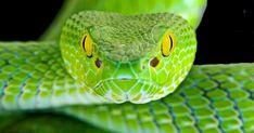 Sebagai manusia, kita tentu saja takut pada semua ular, alasan gigitannya bisa menyebabkan kematian. Setuju, ada banyak stigma negatif di sekitar mereka, karena berbagai mitos. Banyak populasi manusia percaya bahwa semua ular berbisa dan satu-satunya cara untuk menyingkirkan rasa takut adalah membunuh reptil ini dengan setetes racun.