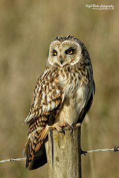 Short-eared Owl | Short-eared Owl Asio flammeus | Flickr - Photo Sharing! Owl Bird, Bird Art, Pet Birds, Beautiful Owl, Animals Beautiful, Cute Animals, Animals Amazing, Pretty Animals, Owl Photos