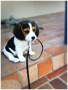 OMG, so sweet. We 'baby sat' for Homer yesterday. I bet he was the sweetest beagle puppy on earth but this one is a serious contender.