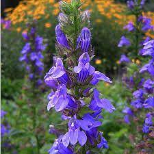 Image result for great blue lobelia