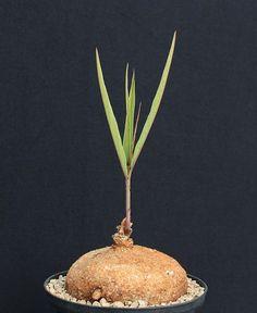 Adenia goetzei (green, lanceolate leaf)