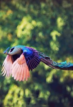 Things that make you go AWW! Like puppies, bunnies, babies, and so on. A place for really cute pictures and videos! Peacock Flying, Peacock Bird, Exotic Birds, Colorful Birds, Rare Birds, Pretty Birds, Beautiful Birds, Peafowl, Mundo Animal