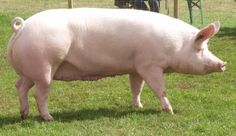 Large White, also known as the English Large White, is a breed of domestic pig originating in Yorkshire, hence also known as the Yorkshire pig.