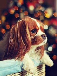 Cavalier King Charles Spaniel-- i want this pup as a christmas gift ❤