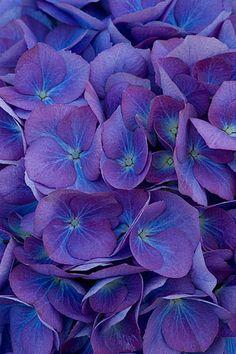 Deep blue hydrangea (almost purple). #hydrangeamacrophylla #hydrangea #mophead