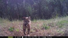 Lynx lynx - flying bobcat 5                                                                                                                                                      More