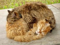 Two fluffy cats sleeping cuddled together.