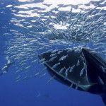 Fotografían a una ballena mientras se traga un cardumen de peces (Fotos)