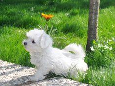 Elit Yavru | Maltese Terrierırkının özellikleri, bakımı, beslenmesi ve eğitimi http://www.elityavru.com/kopek-irklari/maltese-terrier