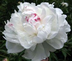 peonia blanca con matiz magenta