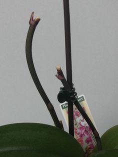 Tipps, um Orchideen richtig zu schneiden