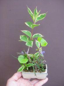 盆栽:コバノタツナミソウとかの寄せ植え |春嘉の盆栽工房