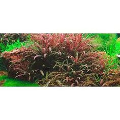 Hygrophila Pinnatifida 1 Maceta Plantas Acuario