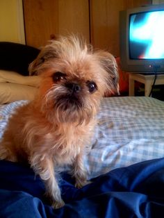 Pictures of Brussels Griffon Dog Breed Cute Puppies, Dogs And Puppies, Cute Dogs, Griffin Dog, Griffon Bruxellois, Baby Animals, Cute Animals, Brussels Griffon, Chewbacca