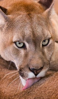 The Cougar ~ also known as Mountain Lion and Puma are native to the Americas by Karen Plimmer
