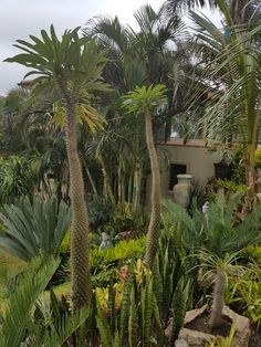 Cycad garden  Shelly Beach Resort  Jan.2017