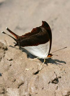 Marpesia zerynthia. Waiter Daggerwing. Endemic to Brazil north through Central America to central Mexico. Rarely strays into south Texas, U.S.A.