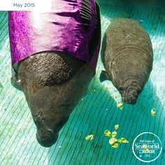 On Mother's Day, SeaWorld rescued an #endangered manatee mom and calf. The mother had a collapsed lung and was having trouble floating. SeaWorld's Rescue Team fitted mom with a custom manatee wetsuit to help her float. #365DaysOfRescue