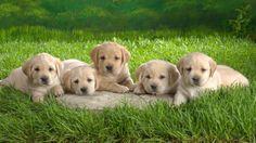 labrador, puppies, grass
