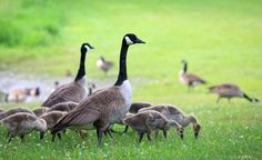 Ottawa, the home of the Geese in Summer. You never know when you step on their green goo, or get attacked by them.