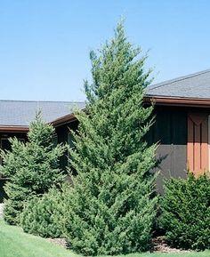 Columnar Eastern White Pine Pinus Strobus Fastigiata