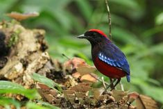 Image may contain: bird and plant Blue Tail, World Birds, Pitta, Flora And Fauna, Borneo, Bird Watching, Life Is Beautiful, Mother Nature, Habitats