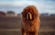 De Tibetaanse Mastiff is nog steeds primitieve hondenras die eeuwen geleden oorspronkelijk in Tibet werd gefokt. Ze werden gebruikt als waakhonden voor vee en om eigendommen te bewaken. Tibetan Dog Breeds, Tibetan Mastiff Dog, Mastiff Dog Breeds, Dog Training Classes, Training Tips, Pumpkin Dog Treats, Dog Care Tips, Pet Care, Fluffy Dogs