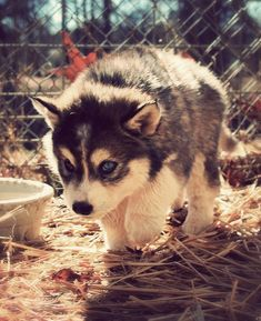 pomsky, <3 pomeranian and husky! Aaaaaaaahhhhhh!!!! It's so cute!!