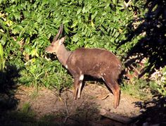 A lightly wounded male Bushbuck warms himself in the late winter sun at Yengele Paradise.