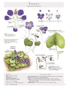 Violet-Viola sororia.jpg