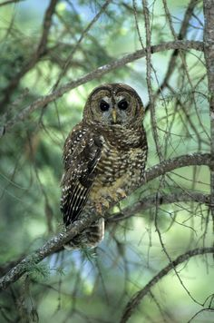BC Spotted Owl