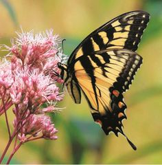 Like bird watching, butterfly watching takes time and patience. Here are beginner tips from Bird Watcher's Digest Butterflies Backyard Guide.