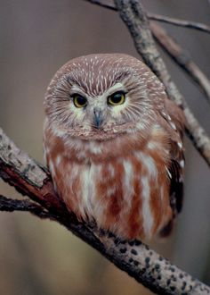 Northern Saw-whet Owl via Denis Doucet Photographer via The Owl Pages FB Owl Photos, Owl Pictures, Pretty Birds, Beautiful Birds, Saw Whet Owl, Owl Bird, Tier Fotos, Cute Owl, Colorful Birds