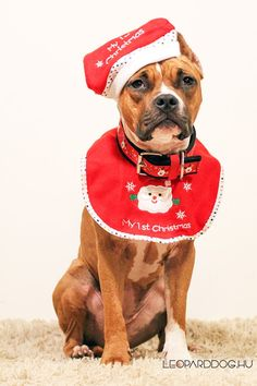 Amazing Amstaff as Santa Claus.