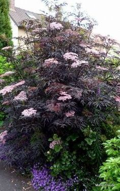Focus sur : le Sambucus nigra Black Lace 'Eva', – Un P'tit Coin de Nature Planting Flowers, Plants, Cottage Garden, Shade Garden, Foliage Plants, Growing Shrubs, Shrubs, Garden Inspiration, Backyard