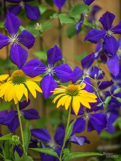 The crowning glory of any landscape, flowering vines will quickly smother a fence or arbor in color. But left unchecked, some vines, such as trumpet vine or wisteria, may smother perennials growing nearby. Clematis, on the other hand, only grows 5-10 feet tall making it an ideal partner for perennial flowers. This sun-loving vine also comes in a wide variety of flower shapes and colors so you have plenty of options for any style of garden. In this border, 'Jackmanii' clematis and 'Harvest…
