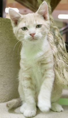 Hi, I'm Abbott! I'm a 4 month old neutered male fawn tabby with white Domestic Short Hair.
