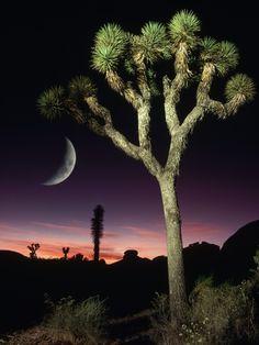 Crescent Moon and Joshua Tree
