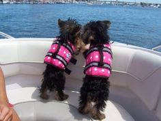 Baby yorkies go boating in their matching pink life jackets.