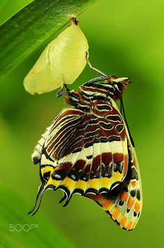 """""""Charaxes jasius by Massimo De Medici on 500px.*"""