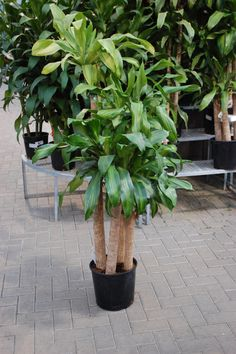House plants on pinterest houseplant house plants and jade plants - Tall house plants ...