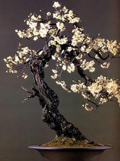 Le choix du pot, le tronc sinueux, l'écorse craquelé et les petites fleurs beiges font de cette arbre un magnifique bonsai.