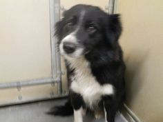 01311405, We have Skeeter at the Darke County Animal Shelter. She is a 5-year-old Border Collie mix. She is black and white with long hair. She is friendly girl and loves to play. She will make a super friend and walking buddy. We also have some...