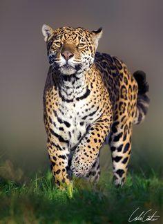 Spirit of the Jaguar (by TheApertureMan)